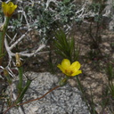 Mentzelia-albicaulis-small-flowered-blazing-star-pictograph-trail-Blair-Valley-2011-03-17-IMG 7390