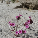 Mimulus-bigelovii-Bigelows-monkeyflower-in-wash-Palm-Springs-2011-03-17-IMG 7405