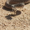Pituophis-catenifer-gopher-snake-Blair-Valley-2011-03-17-IMG 1836