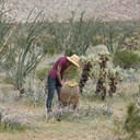 ocotillo-cholla-barrel-cactus-agave-community-mr-studying-Hwy-S2-toward-Palm-Springs-2011-03-17-IMG 1851