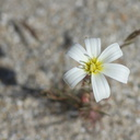 Calycoseris-wrightii-white-tackstem-June-Wash-Anza-Borrego-2012-03-12-IMG 4245