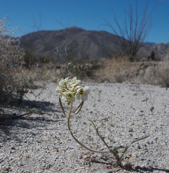 Camissonia-claviformis-browneyed-primrose-June-Wash-Anza-Borrego-2012-03-12-IMG_1019.jpg