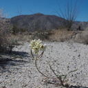 Camissonia-claviformis-browneyed-primrose-June-Wash-Anza-Borrego-2012-03-12-IMG 1019