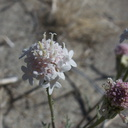 Chaenactis-fremontii-desert-pincushion-June-Wash-Anza-Borrego-2012-03-12-IMG 0993