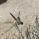 Costas-hummingbird-near-overlook-to-Vallecito-Blair-Valley-pictographs-trail-Anza-Borrego-2012-03-11-IMG 4162