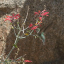 Costas-hummingbird-near-overlook-to-Vallecito-Blair-Valley-pictographs-trail-Anza-Borrego-2012-03-11-IMG 4180