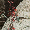 Costas-hummingbird-near-overlook-to-Vallecito-Blair-Valley-pictographs-trail-Anza-Borrego-2012-03-11-IMG 4187