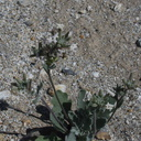 Dithyrea-californica-spectacle-pod-June-Wash-Anza-Borrego-2012-03-12-IMG 0996