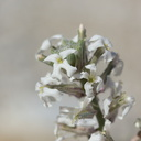Dithyrea-californica-spectacle-pod-June-Wash-Anza-Borrego-2012-03-12-IMG 4241