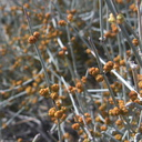 Ephedra-californica-staminate-cones-Blair-Valley-pictographs-trail-Anza-Borrego-2012-03-11-IMG 0843