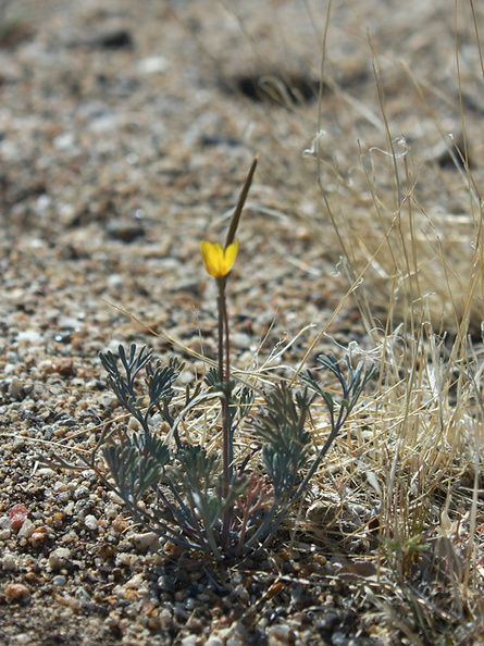 Eschscholtzia-minutiflora-little-gold-poppy-Rainbow-Canyon-2012-02-18-IMG 3922