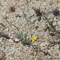 Eschscholzia-minutiflora-little-gold-poppy-Blair-Valley-pictographs-trail-Anza-Borrego-2012-03-11-IMG 4133