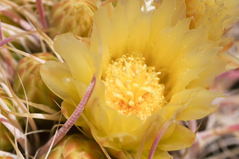 Ferocactus-cylindraceus-barrel-cactus-flowering-Rainbow-Canyon-2012-02-18-IMG 3963