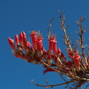 Fouqieria-splendens-ocotillo-June-Wash-Anza-Borrego-2012-03-12-IMG 0977