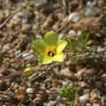 Gilia-filiformis-yellow-gilia-Rainbow-Canyon-2012-02-18-IMG 3996