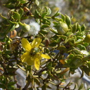 Larrea-tridentata-creosote-bush-June-Wash-Anza-Borrego-2012-03-12-IMG 0986