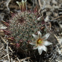Mammillaria-dioica-fishhook-cactus-flowering-Rainbow-Canyon-2012-02-18-IMG 3949