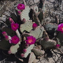 Opuntia-basilaris-beavertail-cactus-June-Wash-Anza-Borrego-2012-03-12-IMG 1013
