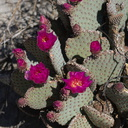 Opuntia-basilaris-beavertail-cactus-June-Wash-Anza-Borrego-2012-03-12-IMG 4270