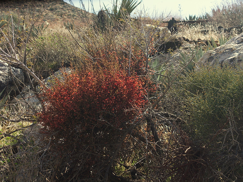 Phoradendron-californicum-desert-mistletoe-red-fruit-Rainbow-Canyon-2012-02-18-IMG 0523