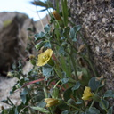 Physalis-crassifolia-thick-leaved-ground-cherry-Blair-Valley-Anza-Borrego-2012-03-11-IMG 0809