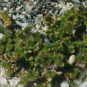 Selaginella-sp-eremophila-spike-moss-Rainbow-Canyon-2012-02-18-IMG 0551