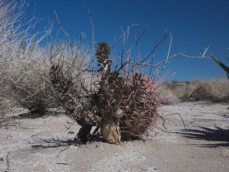 barrel-cactus-and-thorn-shrub-June-Wash-Anza-Borrego-2012-03-12-IMG_1026.jpg