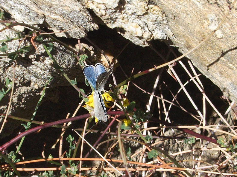 blue-hairstreak-butterfly-Satyrium-sp-Rainbow-Canyon-2012-02-18-IMG_0548.jpg