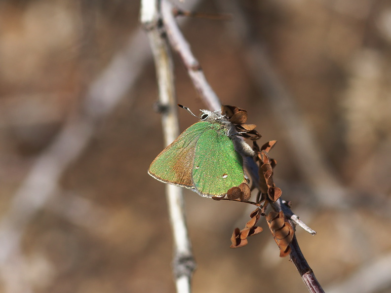 green-hairstreak-butterfly-Callophrys-sp-Rainbow-Canyon-2012-02-18-IMG_3969.jpg
