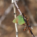 green-hairstreak-butterfly-Callophrys-sp-Rainbow-Canyon-2012-02-18-IMG 3969