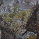 lichen-community-Rainbow-Canyon-2012-02-18-IMG 0526