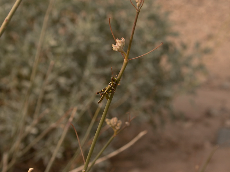 Asclepias-asperula-antelope-horns-indet-grasshopper-Box-Canyon-Joshua-Tree-2011-11-11-mriley-CRW 8998