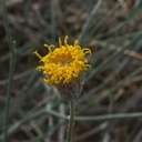 Bebbia-juncea-var-aspera-sweetbush-Box-Canyon-Joshua-Tree-2011-11-11-IMG 0072