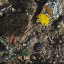 Chaenactis-glabriuscula-yellow-pincushion-Box-Canyon-Joshua-Tree-2011-11-11-IMG 0044