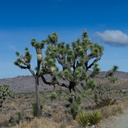 Joshua-tree-landscape-Park-Blvd-nr-Hidden-Valley-2011-11-13-IMG 3549