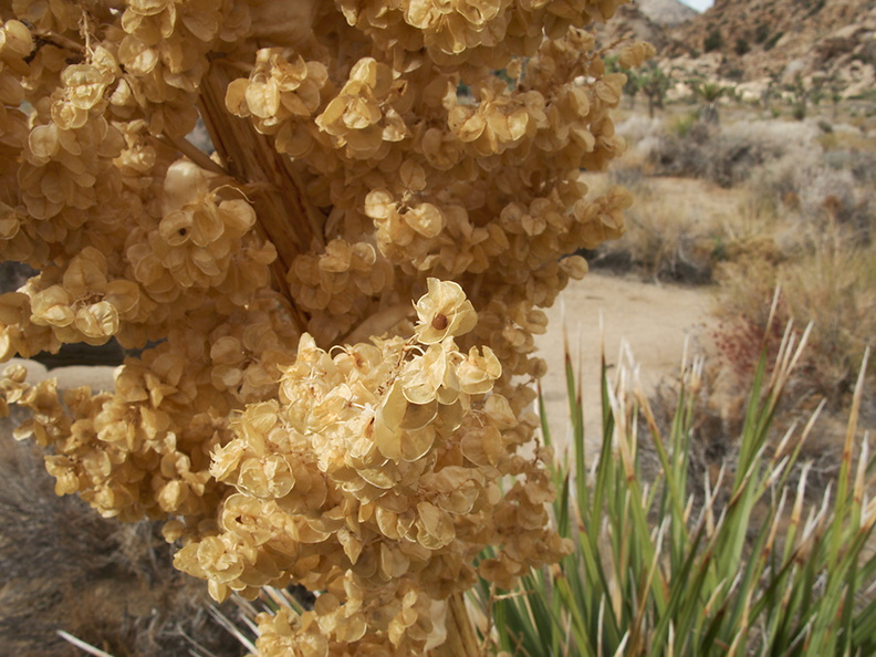Nolina-parryi-fruits-Hidden-Valley-Joshua-Tree-2010-11-20-IMG_6641.jpg