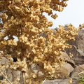 Nolina-parryi-fruits-Hidden-Valley-Joshua-Tree-2011-11-12-IMG 0101