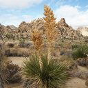 Nolina-parryi-with-old-inflorescence-Hidden-Valley-Joshua-Tree-2010-11-20-IMG 6640