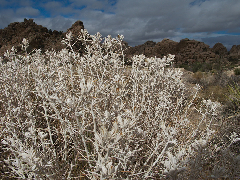 Tetradymia-axillaris-cotton-thorn-silver-shrub-bronze-capsules-Hidden-Valley-Joshua-Tree-2010-11-20-IMG_6643.jpg