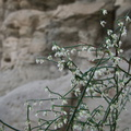 indet-shrub-green-stems-no-leaves-pendent-flowers-Box-Canyon-S-of-Joshua-Tree-2010-11-19-IMG 6570