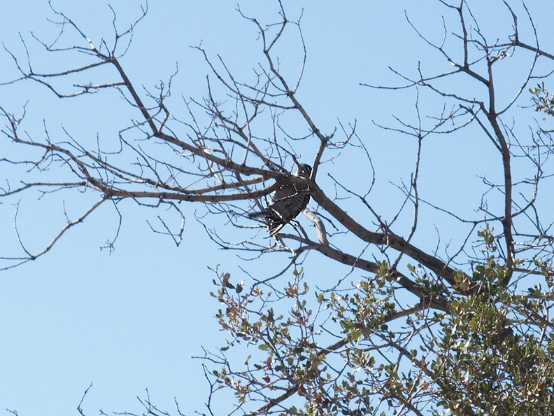 ladderback-woodpecker-Barker-Dam-trail-Joshua-Tree-2011-11-13-IMG_0146.jpg