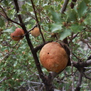 oak-galls-Hidden-Valley-Joshua-Tree-2011-11-12-IMG 0110