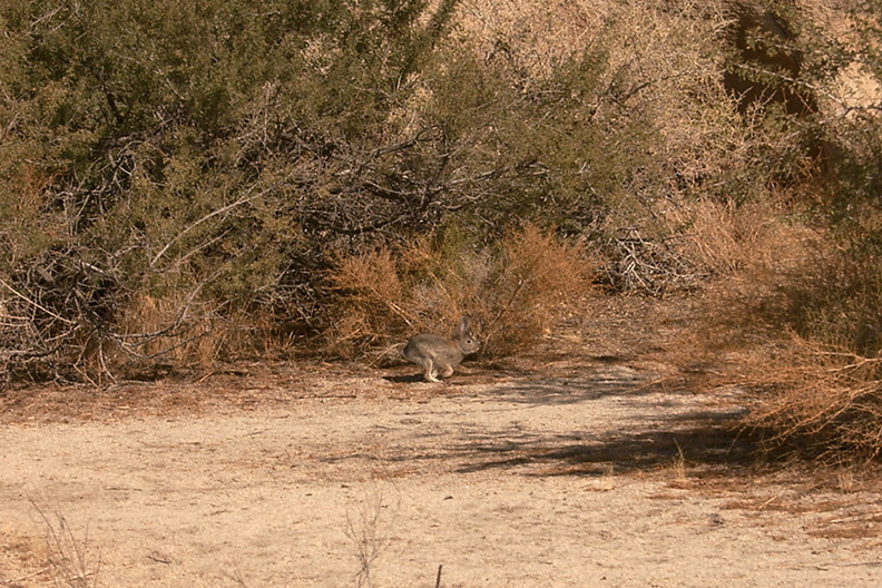 rabbit-cottontail-Sylvilagus-sp-Barker-Dam-trail-Joshua-Tree-2011-11-13-mriley-CRW_9041.jpg