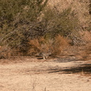 rabbit-cottontail-Sylvilagus-sp-Barker-Dam-trail-Joshua-Tree-2011-11-13-mriley-CRW 9041