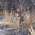 rabbit-cottontail2-Sylvilagus-sp-Barker-Dam-trail-Joshua-Tree-2011-11-13-IMG 0145