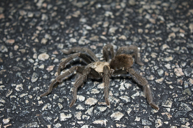 tarantula-Aphonopelma-sp-1-crossing-road-south-Joshua-Tree-2011-11-13-IMG_3579.jpg