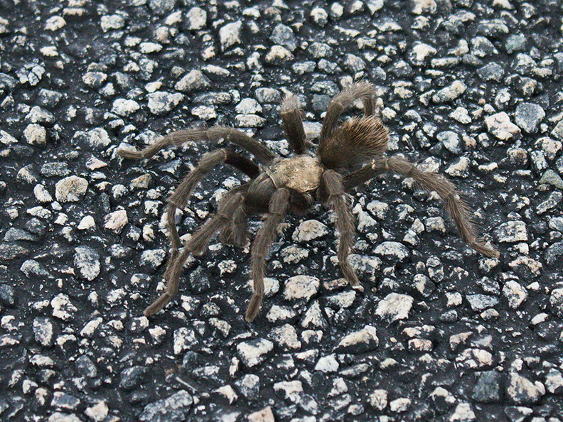 tarantula-Aphonopelma-sp-2-crossing-road-south-Joshua-Tree-2011-11-13-IMG_3577.jpg