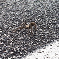 tarantula-Aphonopelma-sp-3-crossing-road-south-Joshua-Tree-2011-11-13-IMG 0178