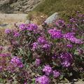 Abronia-villosa-sand-verbena-Box-Canyon-Joshua-Tree-2010-04-24-IMG 4575