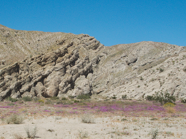 Abronia-villosa-sand-verbena-carpeting-canyon-floor-Box-Canyon-Joshua-Tree-2010-04-24-IMG_4580.jpg
